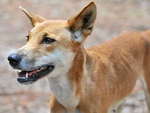 Man bitten on leg by a dingo on Fraser Island