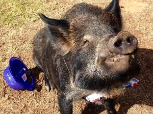 Missing Toowoomba pig brings home the Kevin Bacon