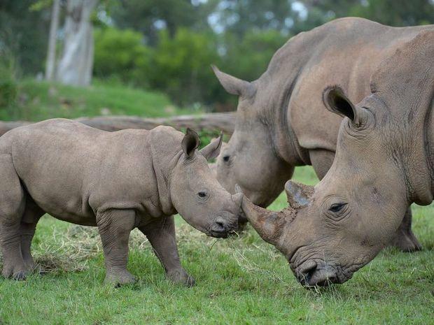 Humphrey the white rhino calf is bonding with the rhino family at Australia Zoo's African savannah.