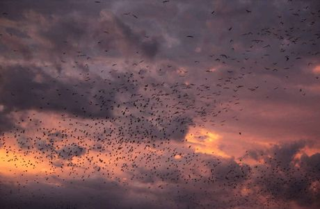 RED SKY: Little red flying foxes in their sunset flyout.