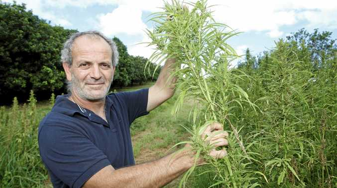Hemp Farmer, Andrew Kavasilas, inspects his crop at one of two hemp farms on the Northern Rivers. Photo Jerad Williams / The Northern Star