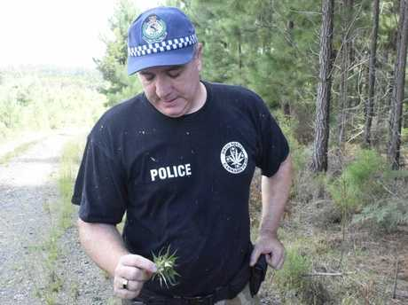 BIG BUD: Det Insp Jameson examines a large bud of cannabis from the crop seized at Clouds Creek State Forest south of Nymboida.