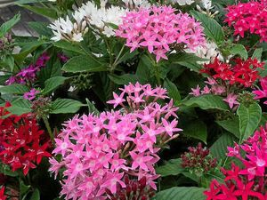 Pentas are flowering workhorses of the garden