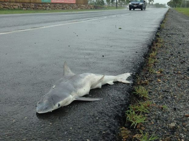 A baby shark was found on Norman Rd. Photo: Andrew Irving