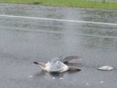 This baby shark was found on Norman Rd. Source: The Morning Bulletin.