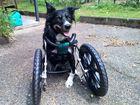 Three-legged wonder dog fights back from adversity