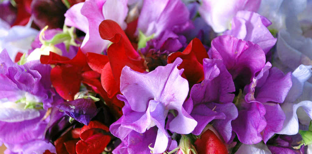 Sweet pea flower colours vary from white and cream through pinks and crimsons to blues and purples, but not yellow.