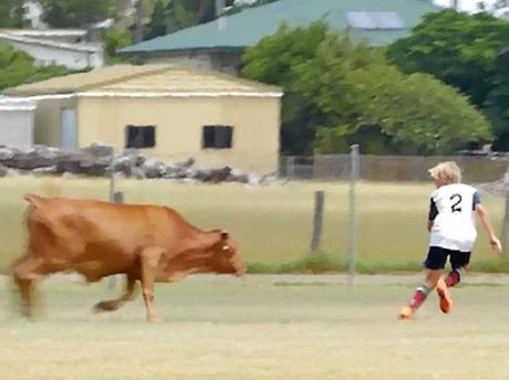 GET A MOOVE ON: A steer chases a junior football player at Granville on Saturday. Neither were hurt.