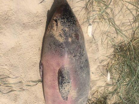 A dead pygmy sperm whale calf