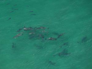 Pilot spots school of sharks at Brooms Head