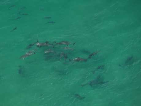 BIRD'S EYE VIEW: Peter and Anita Ostenfeld have captured what they believe to be a school of sharks swimming alongside a pod of dolphins at Brooms Head on Saturday morning.