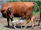 VIDEO: Piglet thrives on cow's milk