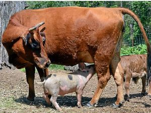 VIDEO: Piglet thrives on cow's milk