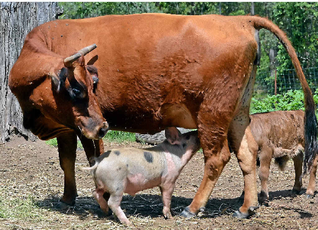 SOME SMART PIG: Jersey cross Jenny shares her milk with cheeky suckling pig Babe and her calf while (right) owner Trish Hume looks on in amusement.