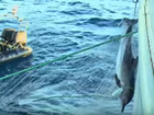 Sharks, dolphins, seals and endangered Bluefin Tuna dead in illegal nets.