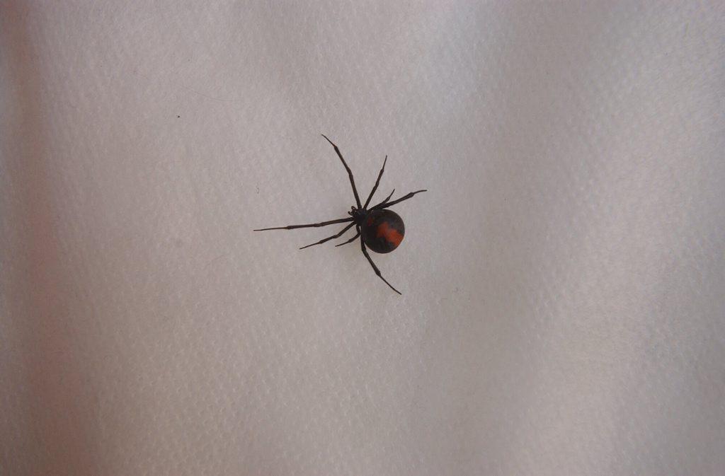 Redback spider.