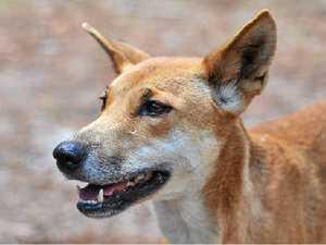 Easter visitors urged to be mindful of Fraser dingoes