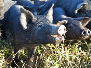 Bringing home bacon in the Burnett region