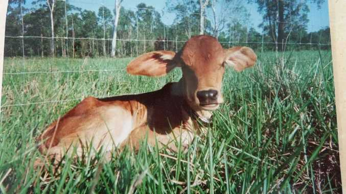 Girl sucked by calf