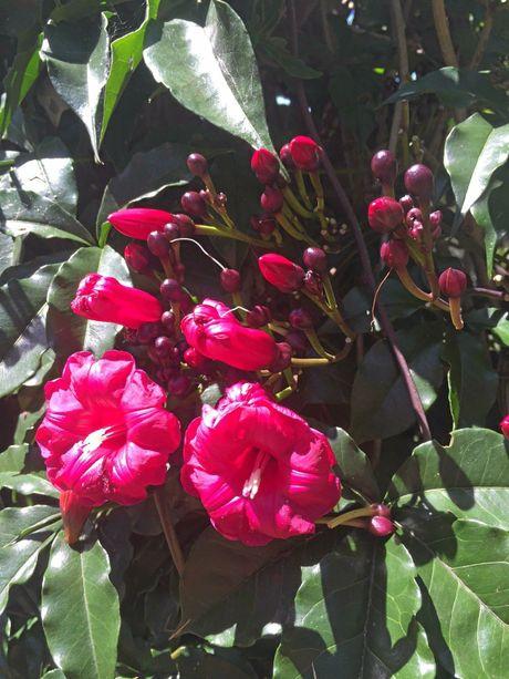A cardinal creeper vine adds colour to the garden.