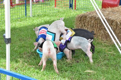 These little piggies went to the races and won  a bucket of milk for their efforts.