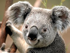 Forum to be held for hinterland koalas