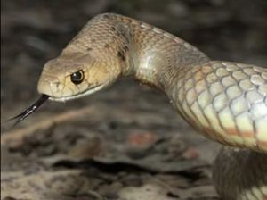"WATCH: Snake catcher's ""very close call"" with eastern brown"