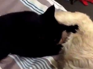 Cat drinks milk from dog