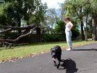 TREE STRUCK DOWN: Branyan resident Vicki Fallon heard an almighty crash when lightning struck her neighbours tree bringing it crashing down on Monday afternoon. Photo: Max Fleet / NewsMail