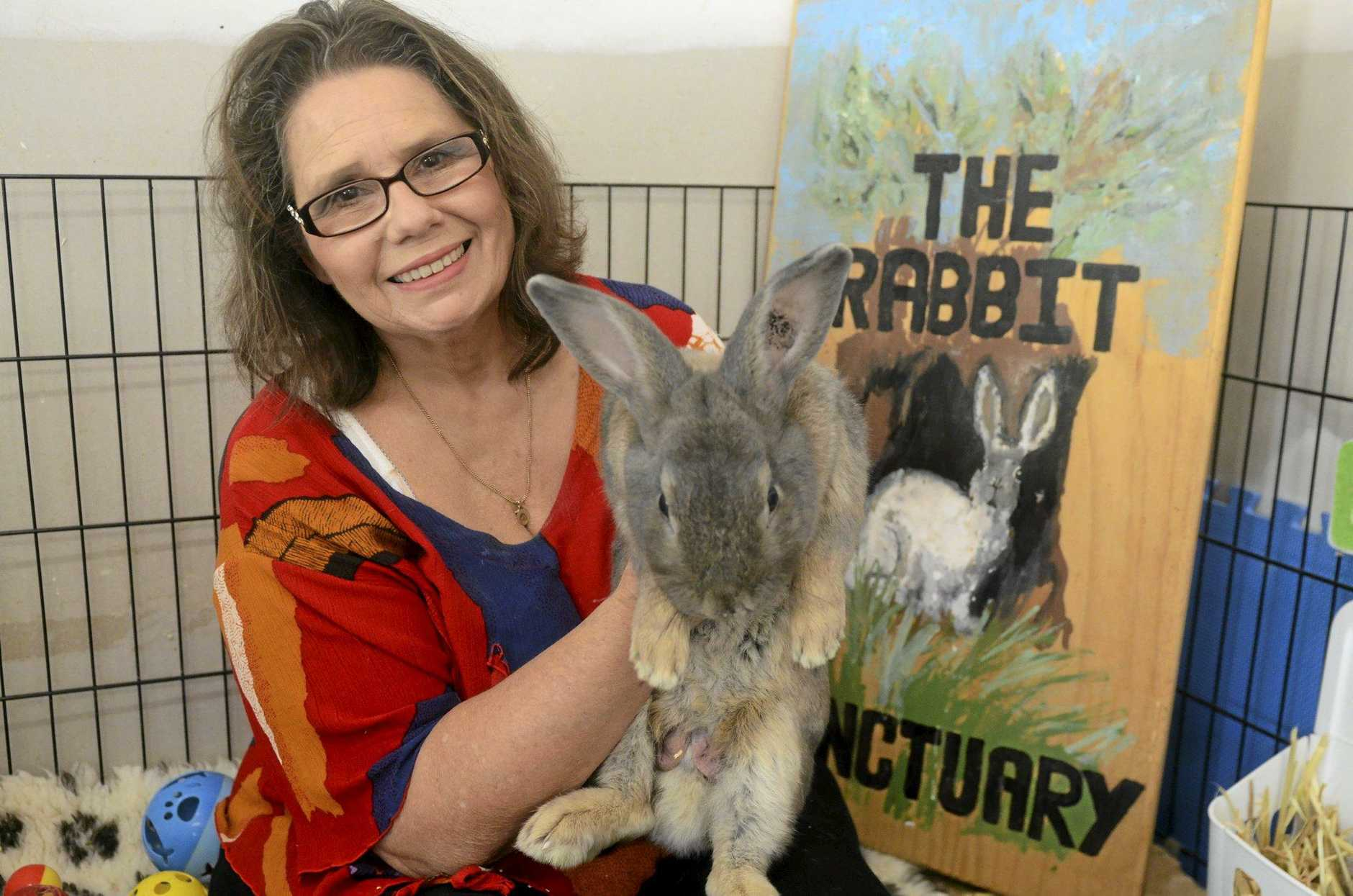 BIG BUNNY: Rabbit Rescue Sanctuary's Kim Cooney with renegade rabbit Boo, who was busted by Queensland Police last week.