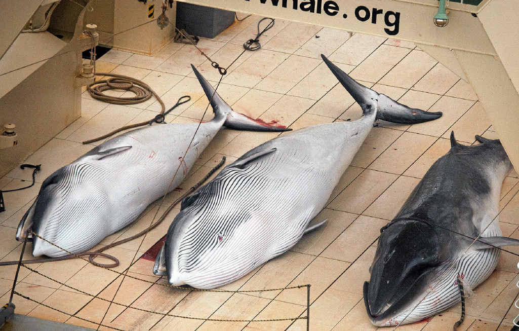 SLAUGHTER: Japanese continues to insist its whaling program is for scientific purposes.