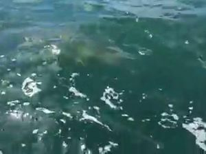 Shark caught off the Mackay coast