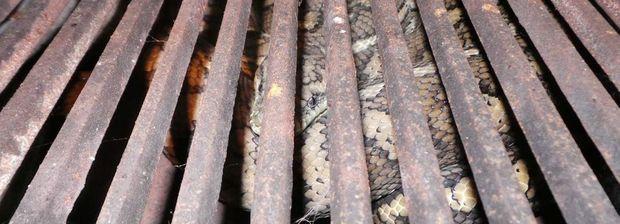RELOCATED: Bundaberg Snake Catchers David Flack removed this 1.8m carpet python (Morelia spilota mcdowelli) from inside a BBQ at a home in Delan. Photo Bundaberg Snake