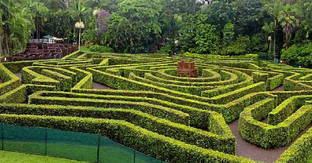 A-MAZING: The hedge maze is now one year old and looking lush, thick and beautiful.