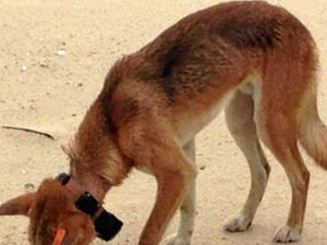 OUR SAY: Search starts to find dingo killers