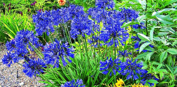 Once you have a relatively established section of strappy or clumping plants it can be used to produce more plants, at no cost, for other areas.