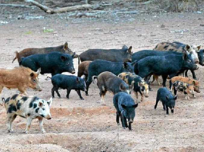 IN SIGHTS: Feral pigs will be targeted in the council's 1080 baiting program this year.