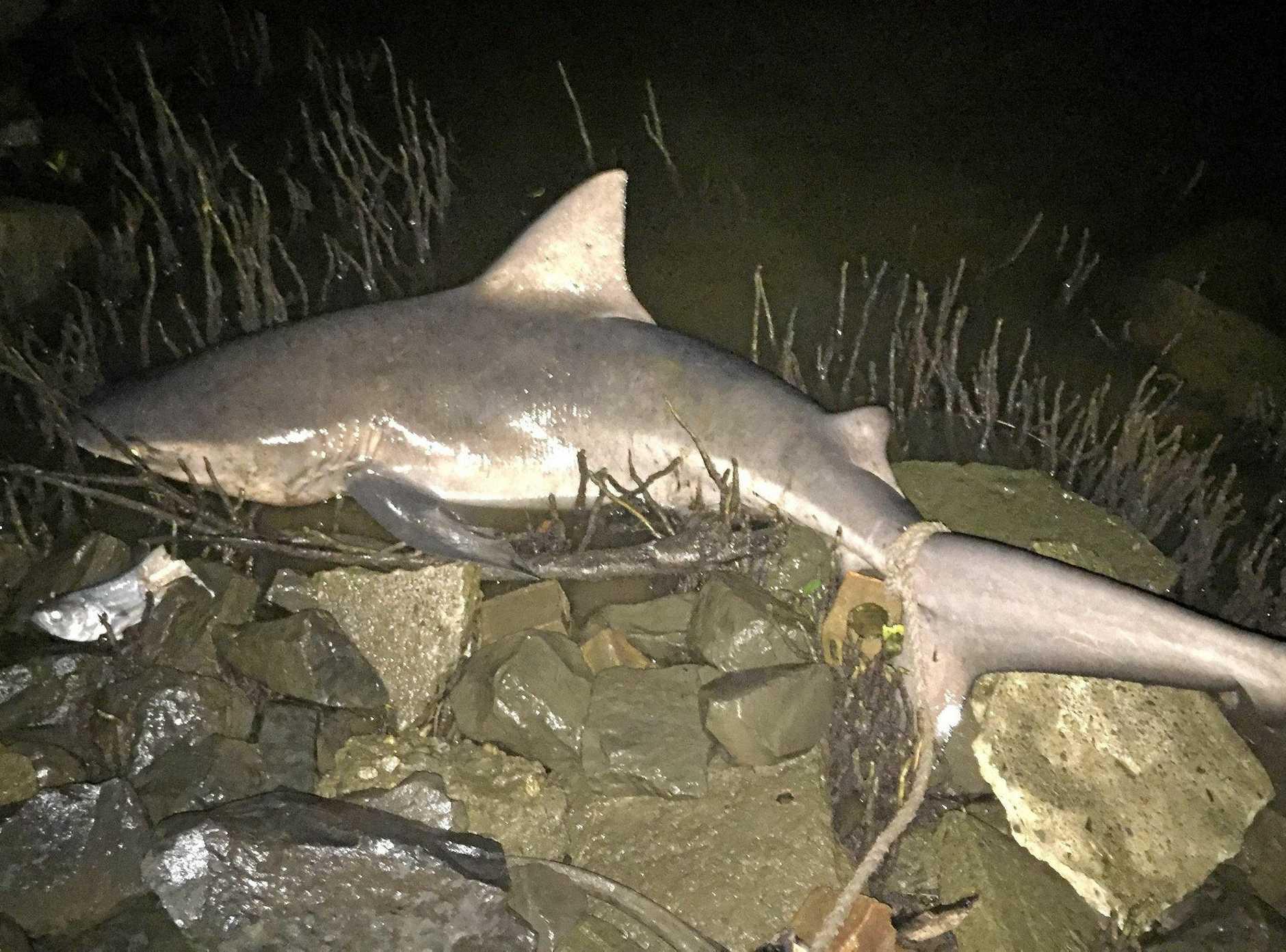 BIG CATCH: Ballina local Joe Cunningham caught a 1.5m bull shark near the Wardell bridge on Sunday night, April, 5, 2016.