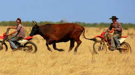 Bodhi and Callum Bradley work together to heard this cow back into the mob.
