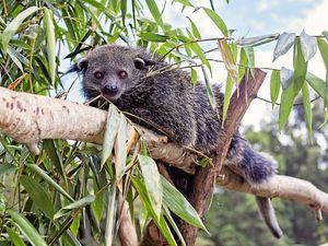 Endangered binturong makes Wildlife HQ home
