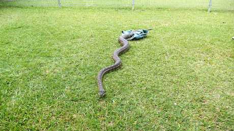 A giant 2.8m carpet snake veteran snake handler Paul Jones found at a South Grafton wrecking yard on Thursday.