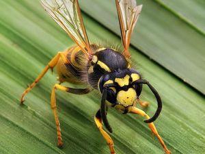'Nasty and aggressive' wasps plague Toowoomba