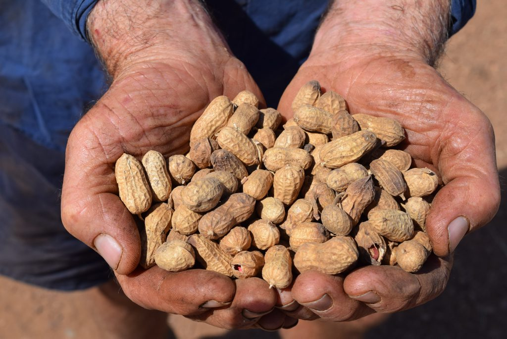 A handful of just threshed Red Spanish peanuts.Photo Erica Murree / Central & North Burnett Times