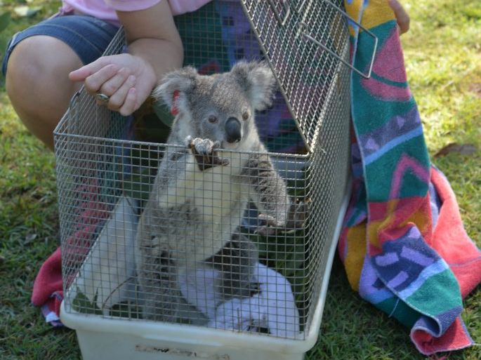 ALL BETTER: Hilda the young female koala is released by carer Natalie Richardson in Tinana.
