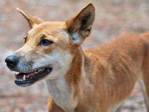 LETTER: Dingoes are the menace on Fraser Island