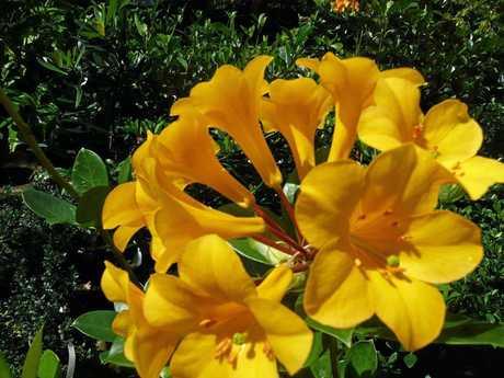 An eye-catching yellow Vireya is another beauty.