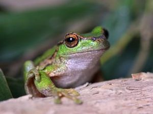 Australia's most endangered frogs need $15m to save them