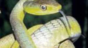 Common tree snake.