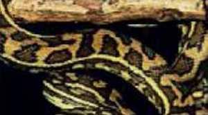 Coastal Carpet python.