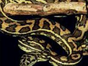 Awake to 40 kilo Python